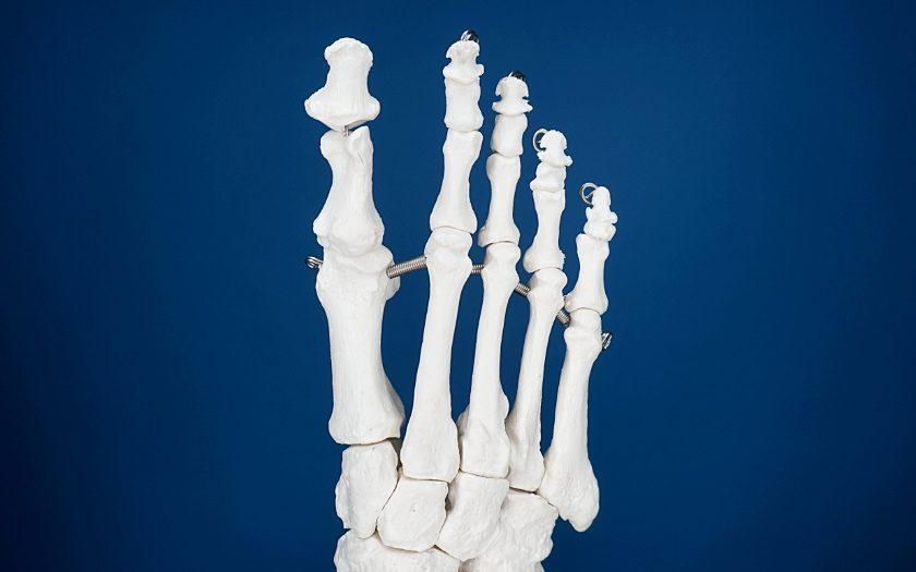Modell eines Fußskelletts